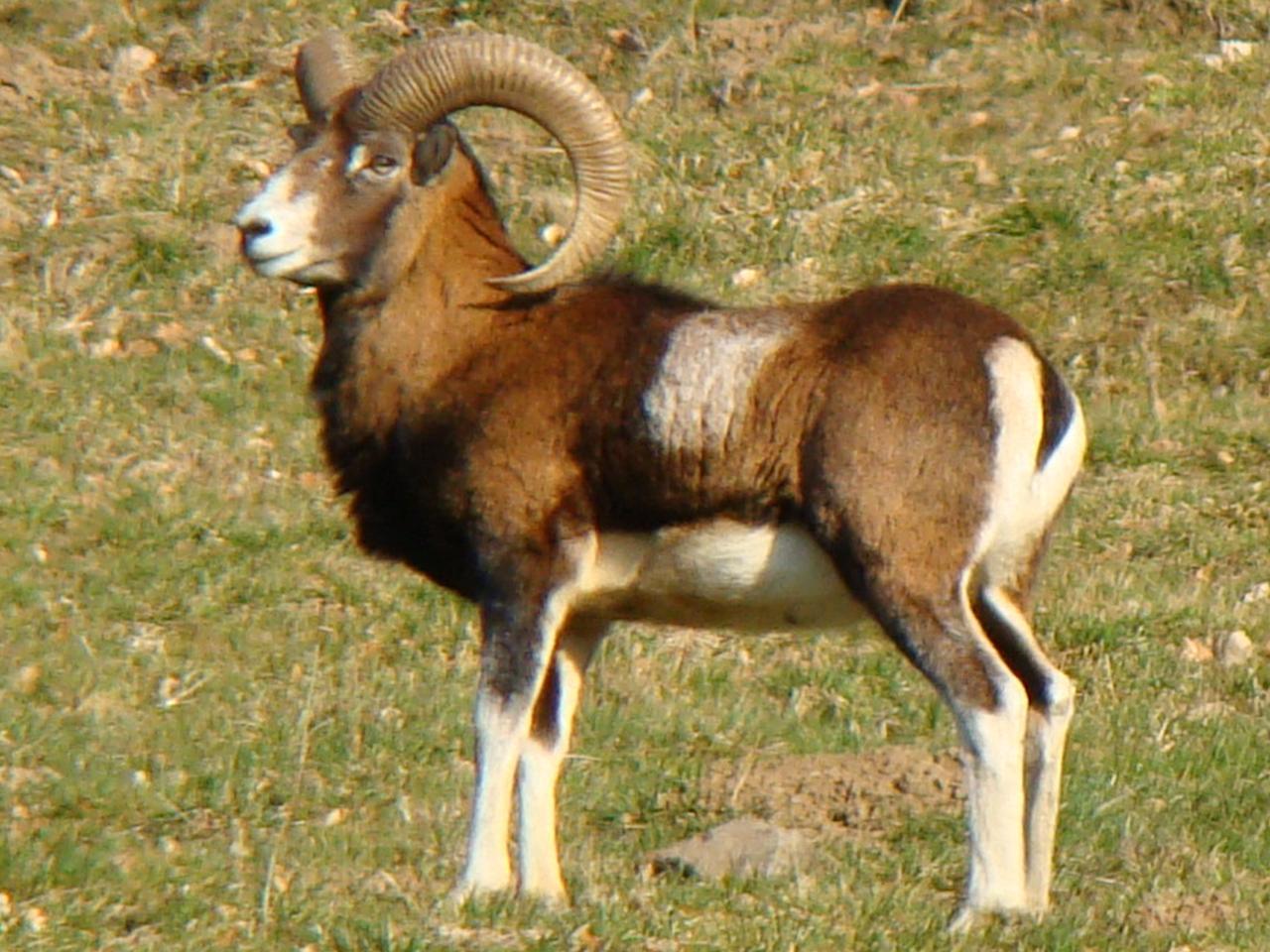 Mouflon à 200 m du gîte