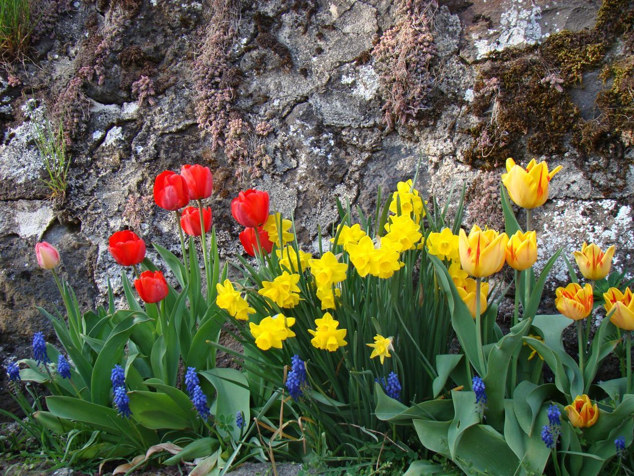 Tulipes devant le gîte